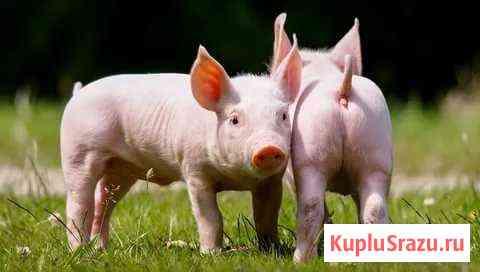Поросята, кролики,ягнята, овцы, куры, индюшата Кингисепп