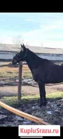 Лошадь Майкоп