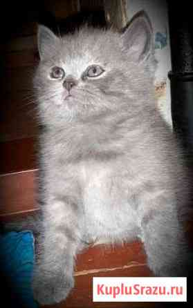 Кошка Шотландская Архангельск