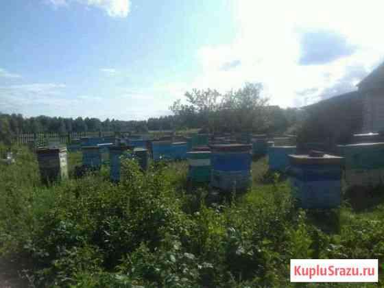Продам пчел семьи с ульями вторыми корпусами полны Нижнетроицкий