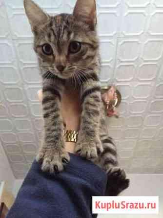 Продаю британского котёнка Астрахань