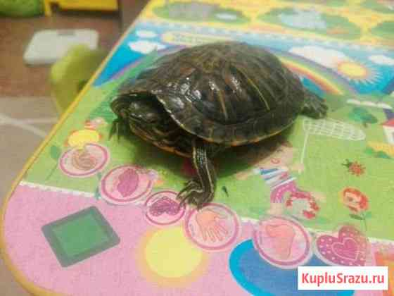 Черепаха красноухая Стерлитамак