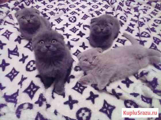 Шотландские котята Майский