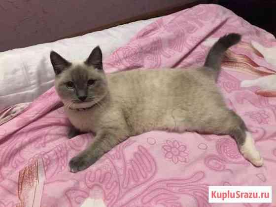 Британский кот Губкин