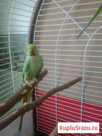 Ожереловый попугай,самец Старый Оскол