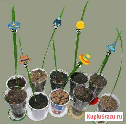 Финиковая пальма Белгород