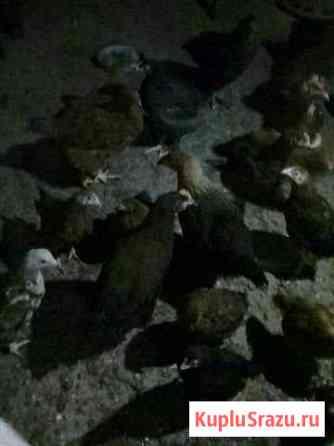 Прдаются цыплята от домашних кур несушек Репьевка
