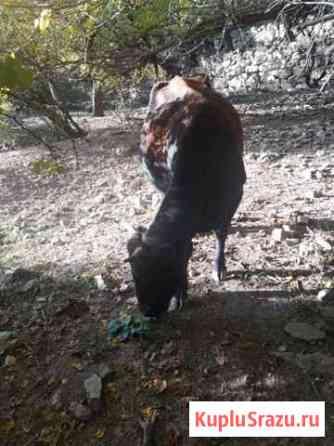 Корова с теленком Гергебиль