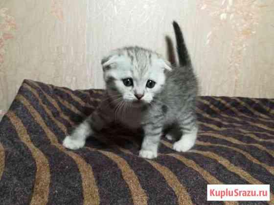 Котята породы Шотландская Гусь-Хрустальный