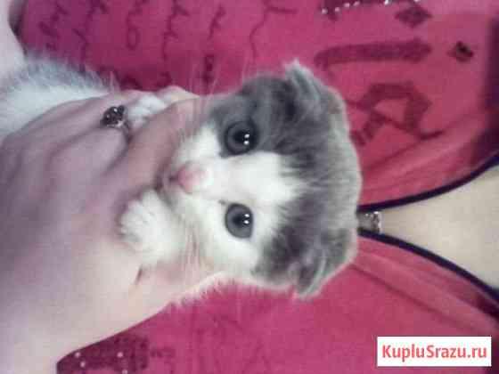 Вислоухий кот Гусь-Хрустальный