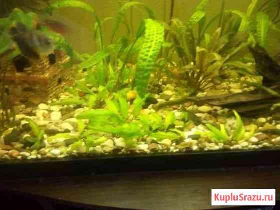 Рыбки Анциструсы Александров