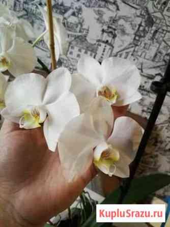 Орхидея Владимир