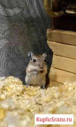 Мышки-песчанки Фролово