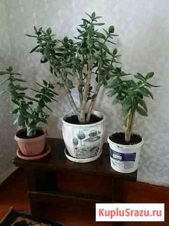 Комнатные цветы Новоаннинский