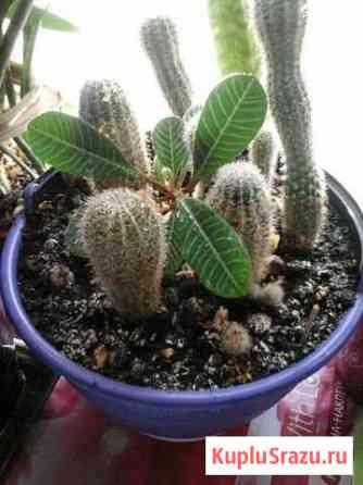 Колючие домашние «питомцы» -кактусы. в корзине Михайловка