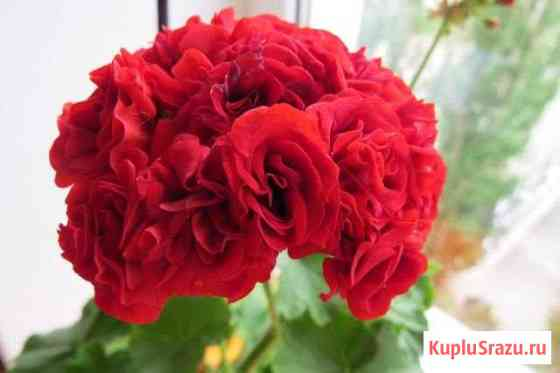 Герань розовидная красная сортrozebud RED Волжский