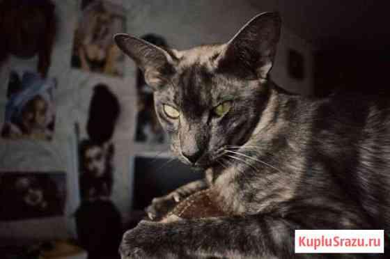 Вязка кот Воронеж
