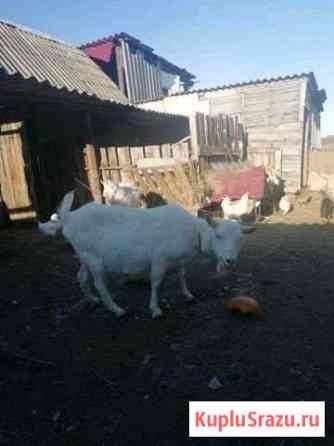 Дойная коза Грибановский