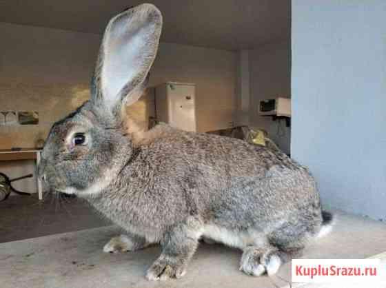 Кролик серый Великан Избербаш