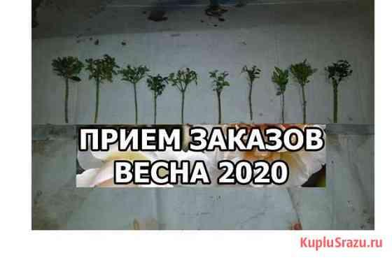 Буксус-Самшит Черенки Хасанья