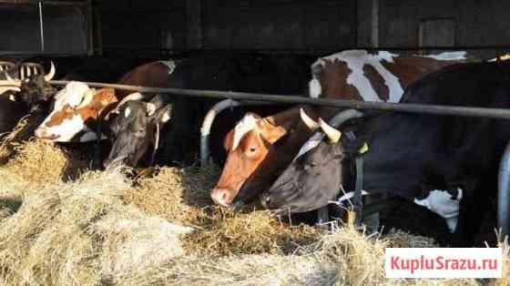 Коровы,обмен на выбраковку Кондрово