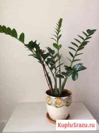 Замиокулькас (долларовое дерево) Петрозаводск