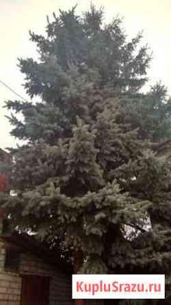 Голубая живая ель Верхняя Хава