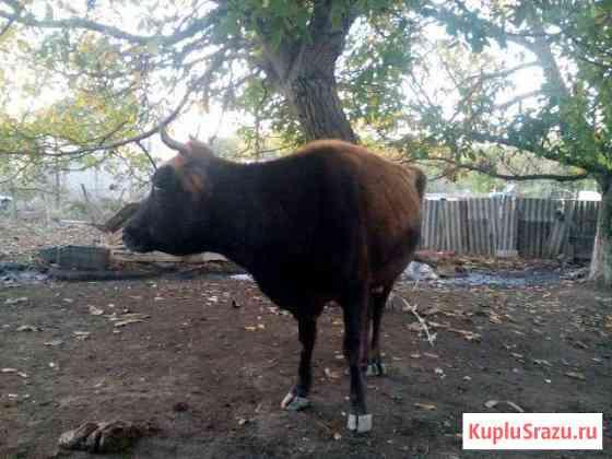 Корова Магарамкент