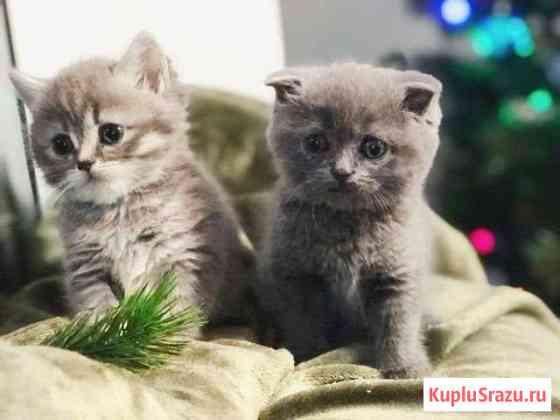 Шотландские котята Балтийск