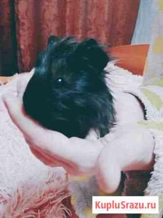 Морские свинки Знаменск