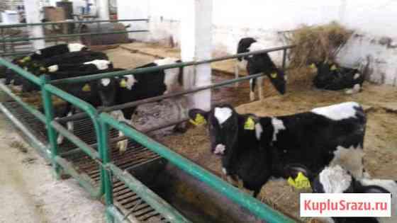 Бычки телята мясной породы от месяца Балабаново