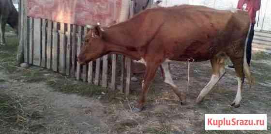 Корова Майский