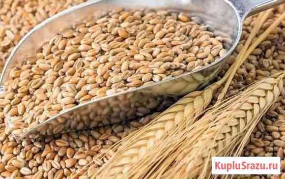 Зерно (пшеница) Гвардейск
