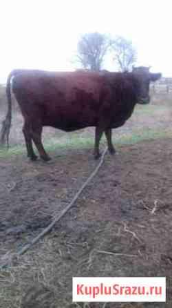 Корова Городовиковск