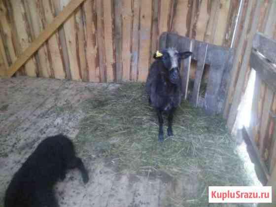 Овцы и ягнята Вятские Поляны
