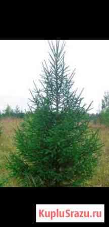 Живые новогодние елки Мурманск