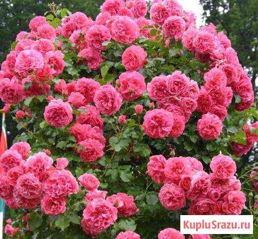Питомник С принимает заказы на розы шраб Пенза