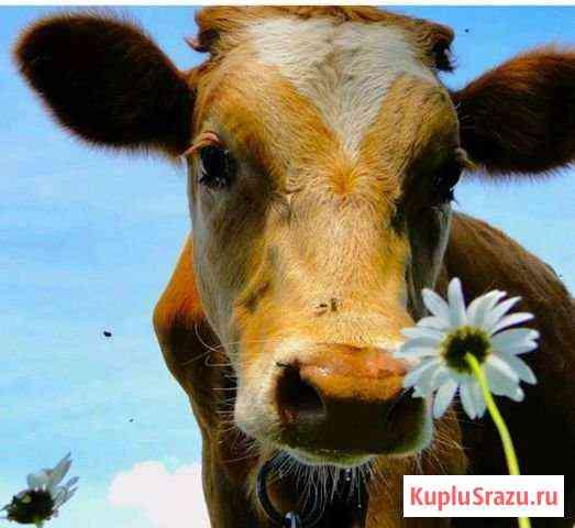 Продам коров Пермь
