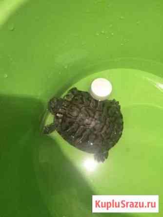 Черепаха Пермь