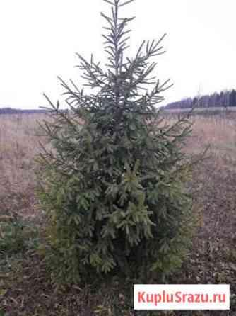 Рождественские деревья Советск