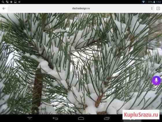 Сосна новогодняя Ачинск