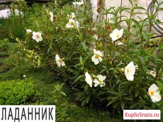 Ладанник Симферополь