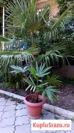 Пальма в горшке Алупка