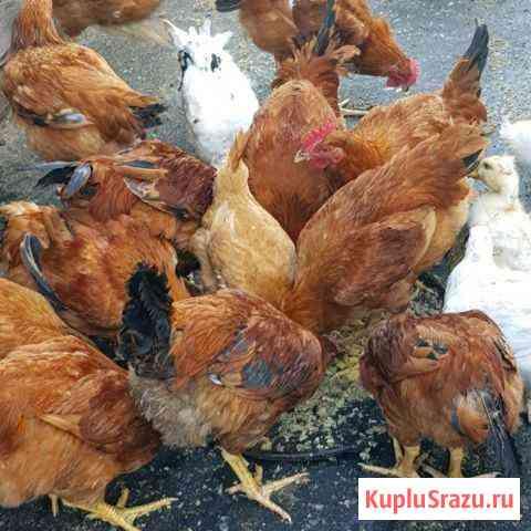 Мясо птицы Железногорск