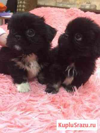 Продам щенков пекинесов мальчики 1,5 месяца Курск