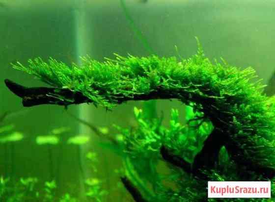 Аквариумный мох - Christmas moss Балашов