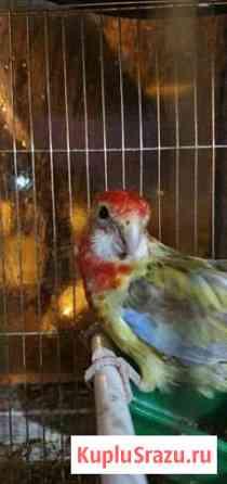 Попугай Розела Керчь