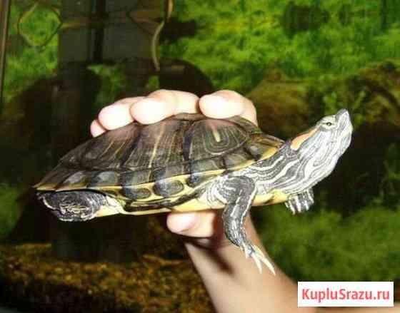 Черепаха красноухая Железногорск