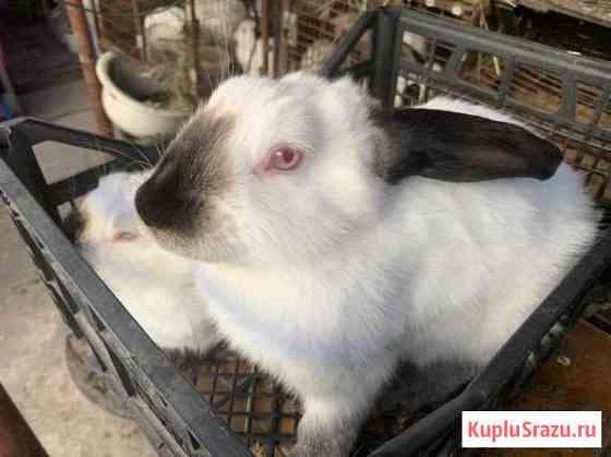 Кролик Калифорнийский Елец