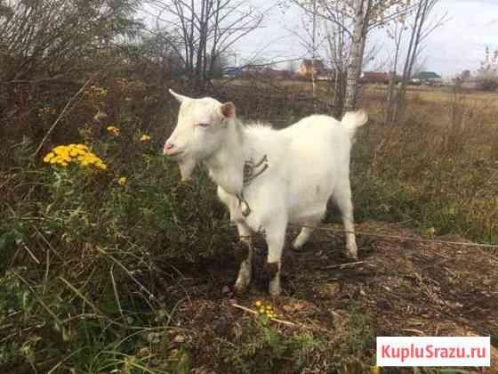 Продаю козлят Липецк